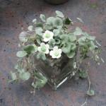 porcelænsblomster i potteplante